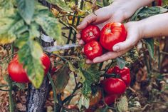 When To Pick Tomatoes, Growing Tomatoes, Tomato Growers, Red Tomato, Tomato Seeds, Colorful Fruit, Tomato Plants, Compost, Things To Come