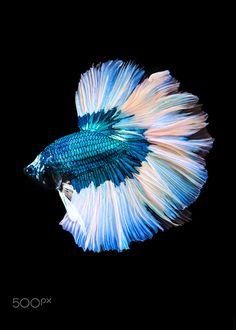 Betta Fish Types, Betta Fish Tank, Beta Fish, Fish Fashion, Tropical Fish Aquarium, Siamese Fighting Fish, Angel Fish, Beautiful Fish, Exotic Fish