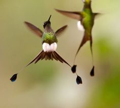 Booted racket-tailed hummingbirds