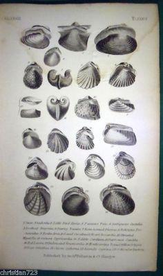 SWAN ANADONTA  AMBIGUOUS CASTALIA RARE  ENGRAVING 1832