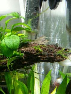 ... Plants on Pinterest Live aquarium plants, Freshwater aquarium plants
