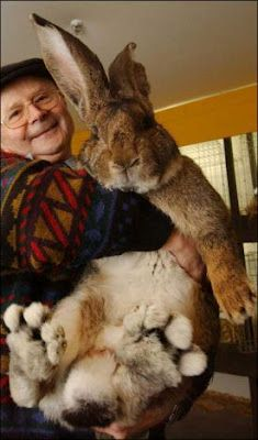 Herman the German Giant rabbit weighs in at 22 pounds and measures a little over 3 feet. This is his owner, Hans Wagner, struggling to hold him up.