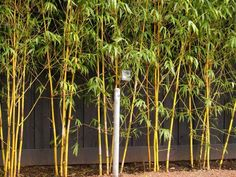 With the most exquisite colored culms and chocolate striped shoots. China Gold is also a beautifully formed plant which does not grow too large Red Cloud, Black Fence, Garden Plants, Bamboo, Clouds, China, Gold, Porcelain, Patio Plants
