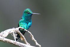 Blue-chinned Sapphire_01V6860-4.jpg | Flickr - Photo Sharing!  Robert Lewis