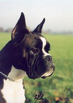 Grazia del Colle dell'Infinito Black Boxer Puppies, Boxer Love, Boston Terrier, Boxers, Dogs, Animals, Boston Terriers, Animales, Animaux