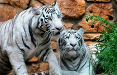 Framed Print - 2 Bengal White Tigers (Picture Poster Wild Animal Lion Bear Art)