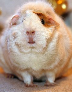Guinea Pig Daily :  Marshy... by Scott --, little fatty!