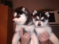 Blue eyes siberian husky puppies for sale. We got two adorable blue eyes siberian husky puppies. 12 weeks old. To buy this puppies do visit us @
