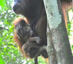 Jungle Treks & Tours from Bukit Lawang N. Sumatra - Experience Wild Jungles, Breathtaking Landscapes and Authentic Culture with TrekSumatra Gunung Leuser National Park, National Parks, Sumatran Orangutan, Trek, Mom, Animals, Animales, Animaux, Animal