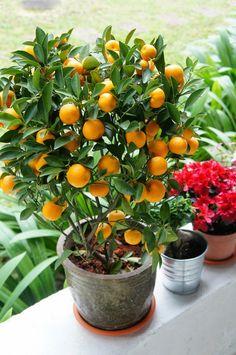 A Kinkan é uma fruta pequena, com apenas 2 cm de diâmetro, em média, mas de grandes e reconhecidas qualidades. Essa laranjinha é originária da Asia mas precisamente na China, e chegou ao Japão por volta do século XIV e rapidamente ganhou o nome de Himetachibana, embora hoje ela seja mais conhecida como Kinkan.