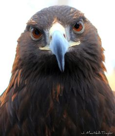 """Golden eagle """"I also eat people, they're part of my food chain, YUM!!"""