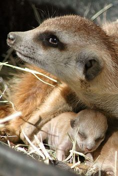 Meerkat with baby <3