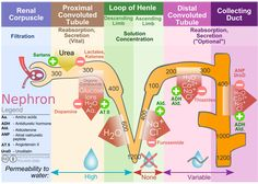 What Is the Urinary System, Its Functions, Urinalysis -- Natural Health Newsletter Renal Physiology, Human Anatomy And Physiology, Nursing Tips, Nursing Notes, Icu Nursing, Pharmacy School, Medical School, Loop Of Henle, Medical Science