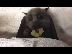 Sully is a Grey-Headed Flying-Fox who was found on the ground under some children's playground equipment. She was almost dead. After 6 weeks in care she was ...