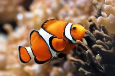 Clownfish live among the tentacles of anemones, and get protection; and they keep the  anemone's enemies at bay,   Say  that fast 5 times,  mate!