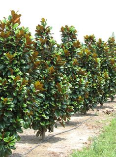 Magnolia grandiflora 'Southern Charm' aka  Teddy Bear® Magnolia is a very compact native Magnolia with an upright self-branching habit. Teddy Bear® has small to medium sized 2- to 4-inch wide by 3- to 6-inch long shiny dark green leaves. The leaf back is reddish-brown and heavily felted. / boldspring.com