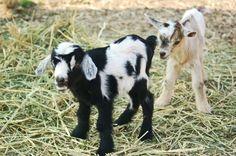 http://www.elevation9640.com/wp-content/uploads/2010/03/baby-goats.jpg