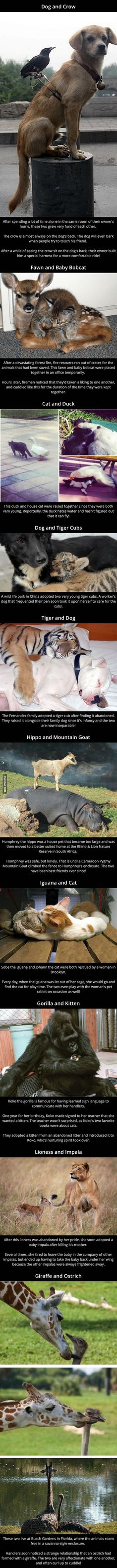 GAGBAY - Unusual Animal Friendships including a dog with a crow perch on his back Unusual Animal Friendships, Unusual Animals, Unusual Pets, Strange Animals, Cute Creatures, Beautiful Creatures, Animals Beautiful, Animals And Pets, Baby Animals