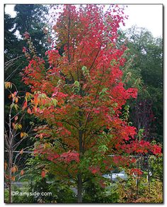 Fairview Flame Maple, 25 x 12.  known for its long lasting, brilliant reddish purple fall color. Only male flowers are produced in spring so there are no messy seeds to clean up. A medium-sized shade tree, it is perfect for lawn planting or street.