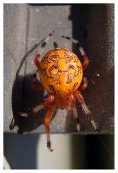 http://fc09.deviantart.net/fs21/f/2007/301/e/2/Orange_Orb_Spider_by_mkoster.jpg