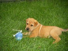 Bella - yellow lab shar pei mix. Cutest puppy ever