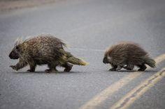 texas porcupine - Google Search