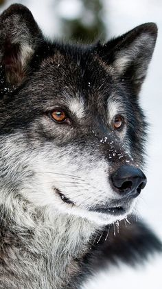 The wolf.keen, sensitive, intelligent beyond our imagination. - : The wolf.keen, sensitive, intelligent beyond our imagination. Tier Wallpaper, Wolf Wallpaper, Animal Wallpaper, Mobile Wallpaper, Wallpaper Lockscreen, Iphone Wallpapers, Wolf Photos, Wolf Pictures, Nature Photos