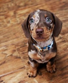 Cute Overload: Internet`s best cute dogs and cute cats are here. Aww pics and adorable animals. Super Cute Puppies, Cute Baby Dogs, Super Cute Animals, Cute Dogs And Puppies, Cute Little Animals, Dachshund Breed, Dapple Dachshund, Dachshund Love, Daschund