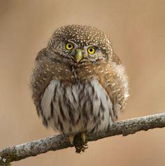 Oh HibyHenrik NilssonWild Northern Pygmy Owl - National Geographic (tumblr)