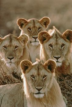 A group of young male lions, Serengeti National Park, Tanzania