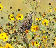 Eastern Meadowlark by Danny Bales, via Cornell Lab's All About Birds