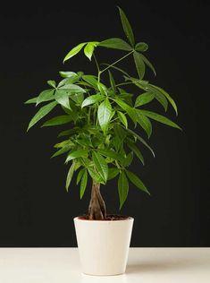Le pachira est une formidable plante d'intérieur. Plantation, rempotage, entretien, arrosage, voici les gestes pour la croissance de votre pachira et éviter les maladies