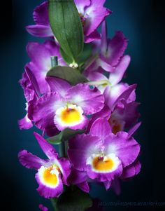 Dendrobium Nobile by PassionAndTheCamera on DeviantArt Flowers Nature, Exotic Flowers, Amazing Flowers, Love Flowers, Beautiful Roses, Dendrobium Nobile, Orchid Varieties, Types Of Orchids, Orchid Show