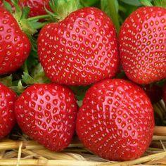 Strawberry Plants 'Malwina' (12 plants)