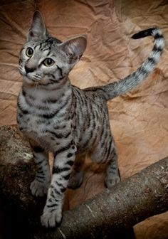 ❤ =^..^= ❤ savannah cat