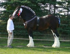 Clydesdale Horses | Clydesdale Heavy Draft Horse | Clydesdales