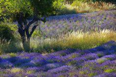 Gartenzauber | Leidenschaft für Lavendel - Gartenzauber