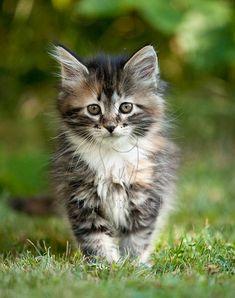 "Maine Coon Kaetzchen"" - #maincooncats - Different type of Main Coon Cat Breeds at Catsincare.com"
