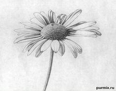 Как правильно нарисовать ромашку простым карандашом на бумаге поэтапно
