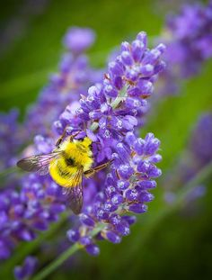 Bumble Bee & Lavender - Inge Johnsson