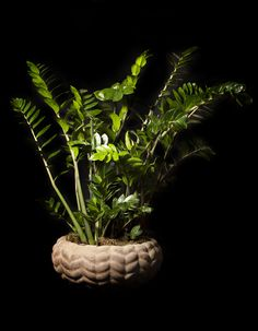 Zamioculcas in a deroma pot by M.Florist Pierros V.