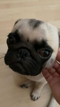 Super Cute Puppies, Cute Little Puppies, Fluffy Animals, Cute Baby Animals, Animals Dog, Pug Puppies, Pet Dogs, Pets, Funny Animal Videos