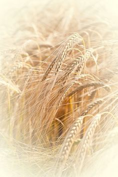 Barley  The Bride of Christ, the Firstfruits of God, the unadulterated, the pure!