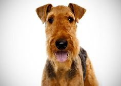 Life is merrier with an Airedale Terrier, I absolutely LOVE that saying