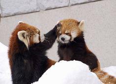 Red Pandas How sweet! Cute Little Animals, Cute Funny Animals, Cute Dogs, My Spirit Animal, My Animal, Bear Animal, Red Panda Cute, Panda Mignon, Cute Creatures
