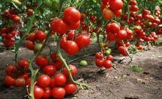 Лучшие низкорослые сорта для помидоров открытого грунта. Томаты для Сибири и Урала. Крупноплодные, без пасынкования, лучшие ранние сорта.