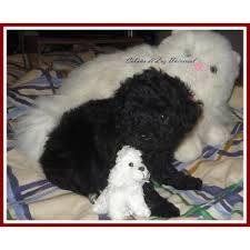 Resultado de imagen para caniches micro toy en capital federal. #poodle #puppies #negro