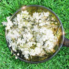 White chestnut bach flower remedy for incessant intrusive and cherry plum bach flower remedy for fear of losing control dread and irrationality mightylinksfo Choice Image