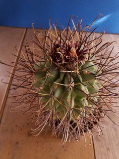 Ancistrocactus uncinatus Cactus, Seeds, Green Houses, Flowers, God, Purple, Plants, Succulents, Dios