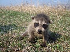 Adorable raccoon cub is helpless without her mom. Help us help her by making a donation today!  http://www.torontowildlifecentre.com/adopt-a-baby/